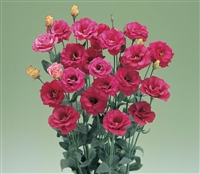 Lisianthus Arena Red Pellets
