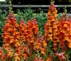 Antirrhinum Costa Orange