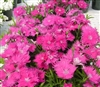 Dianthus Supra Purple_disc