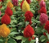 Celosia Phaser Mix