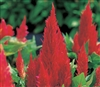 Celosia Phaser Red