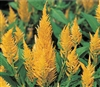 Celosia Phaser Yellow