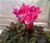 Cyclamen Flamenco Pink/White_disc