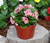 Begonia Fairyland Pink Pellets
