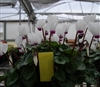 Cyclamen Enzett White Eye