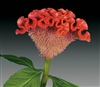 Celosia Act Light Orange