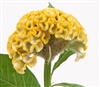 Celosia Act Yellow