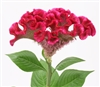 Celosia Bar Bora Purple