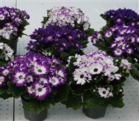 Cineraria Polaris Magenta Mix_disc