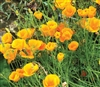 Eschscholzia World Cup