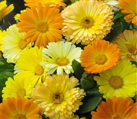 Calendula Fruit Twist Mix