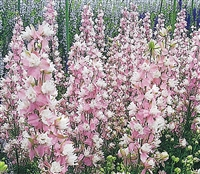Larkspur Birthday Pink