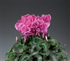 Cyclamen Rainier Wine Flame