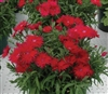 Dianthus Supra Red_disc