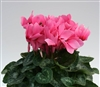 Cyclamen Magnum Salmon Eye