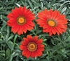 Gazania Kiss Frosty Red