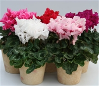 Cyclamen Maxfringe Mix