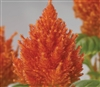 Celosia Glorious Orange