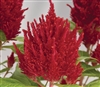 Celosia Glorious Red