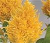 Celosia Glorious Yellow