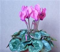 Cyclamen Enzett Rose Eye