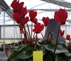 Cyclamen Enzett Red