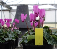 Cyclamen Enzett Lilac Rose Eye