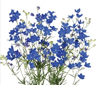 Delphinium Angel Super Blue