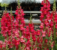 Antirrhinum Costa Rose