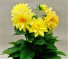 Dahlia Delight Yellow Shds
