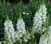 Antirrhinum Costa White