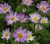 Aster Hana Blue Tipped