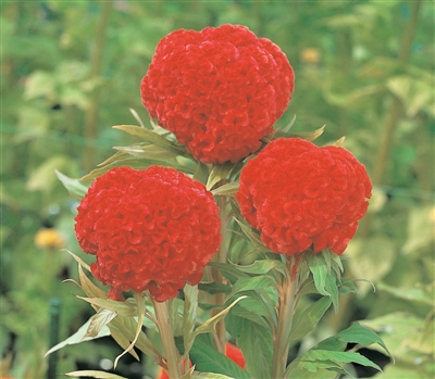 Celosia Kurume Orange Red