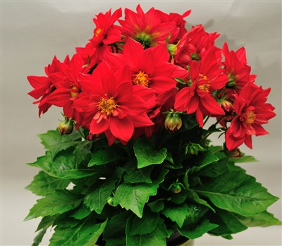 Dahlia Delight Red Shds
