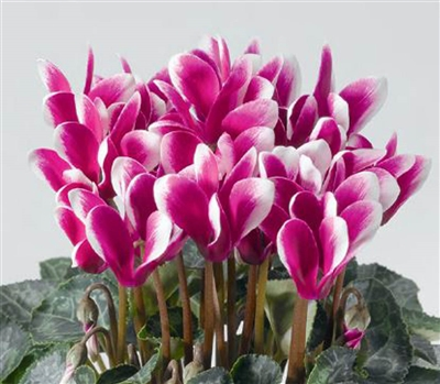Cyclamen Winfall Snowridge Purple