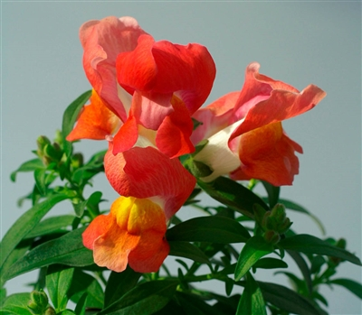Antirrhinum Snappy Orange