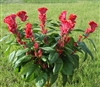 Celosia Filler Red
