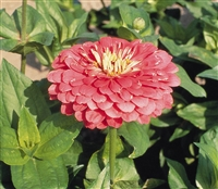 Zinnia Giants Bright Pink