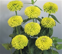 Zinnia Giants Lime