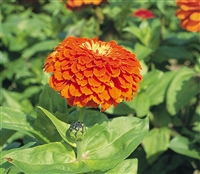 Zinnia Giants Orange