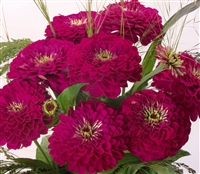Zinnia Giants Purple