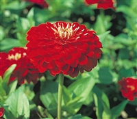 Zinnia Giants Scarlet