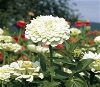 Zinnia Giants White