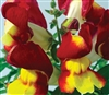 Antirrhinum Snappy Red & Yello