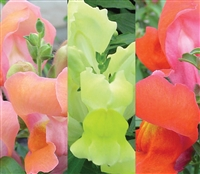 Antirrhinum Snappy Terracotta