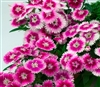 Dianthus Chiba Lilac Pic