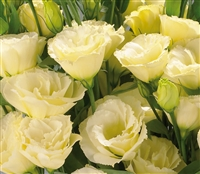 Lisianthus Advant. Yellow Pellets