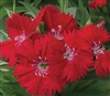 Dianthus Chiba Red Pellets