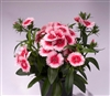Dianthus Chiba Strawberry