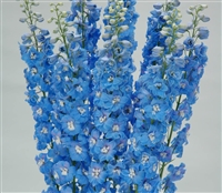Delphinium Triton Light Blue